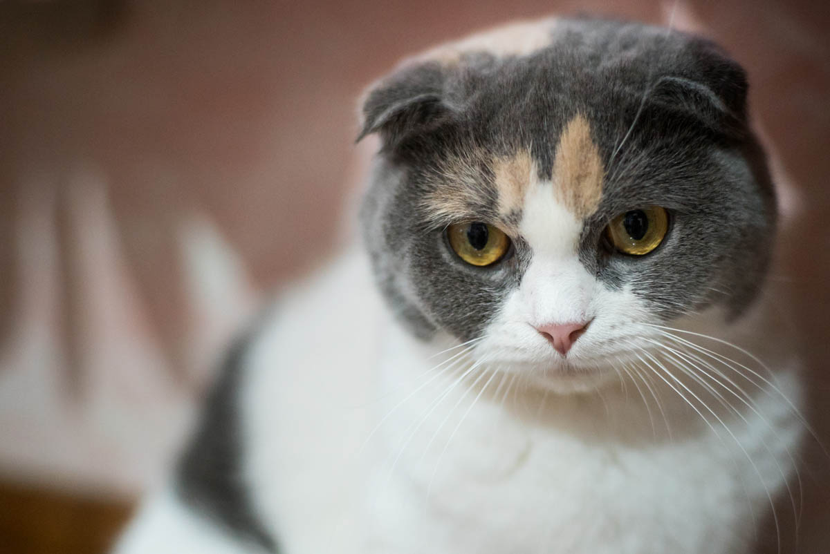 What is a grey calico cat?
