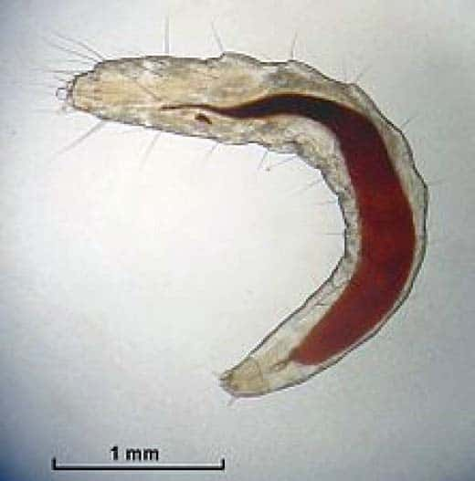 Cat flea larvae