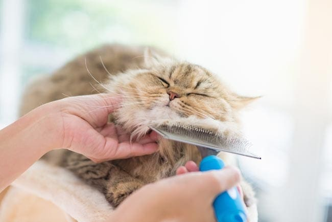 Grooming a cat