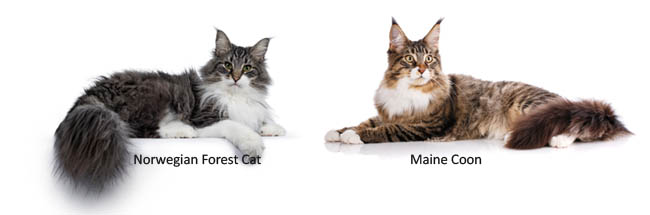 Norwegian Forest cat and Maine Coon