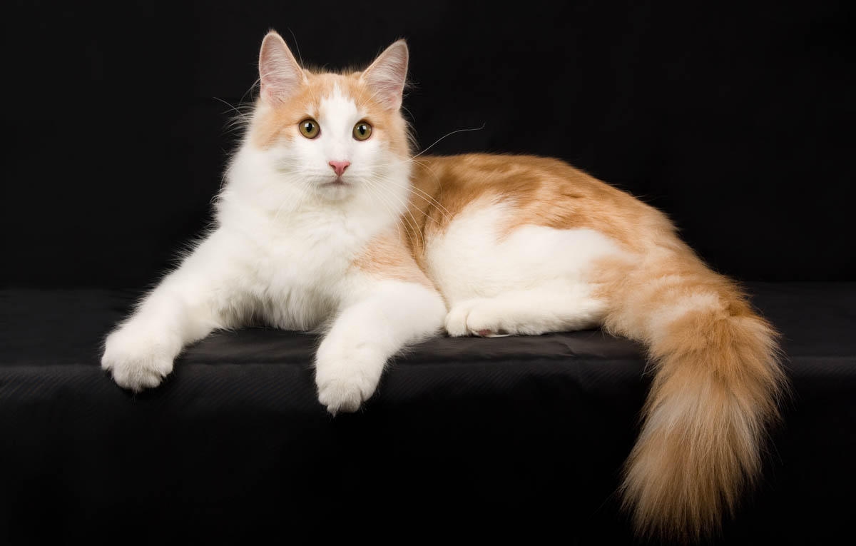 Red and white Norwegian Forest Cat