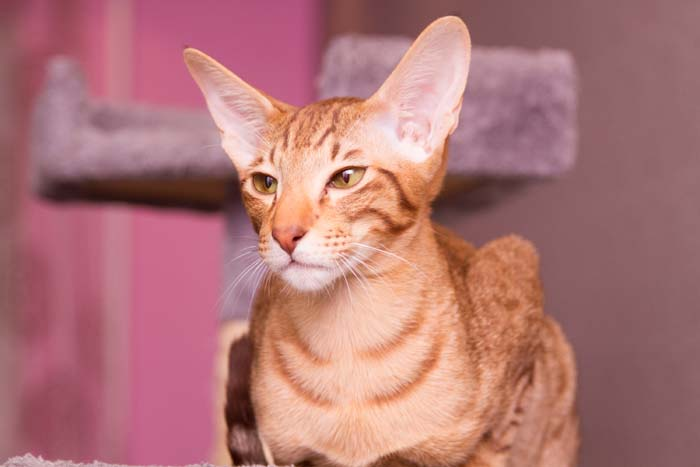 Red Oriental shorthair