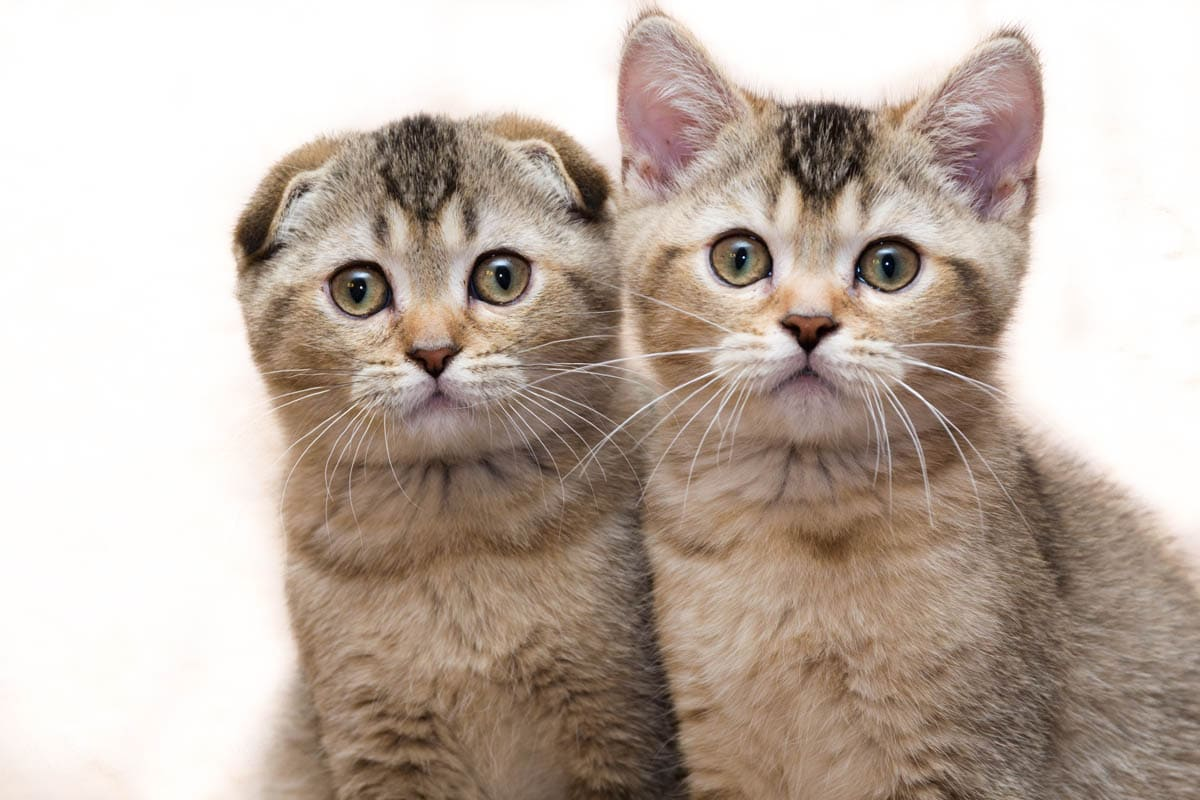 Scottish Fold and Scottish Straight