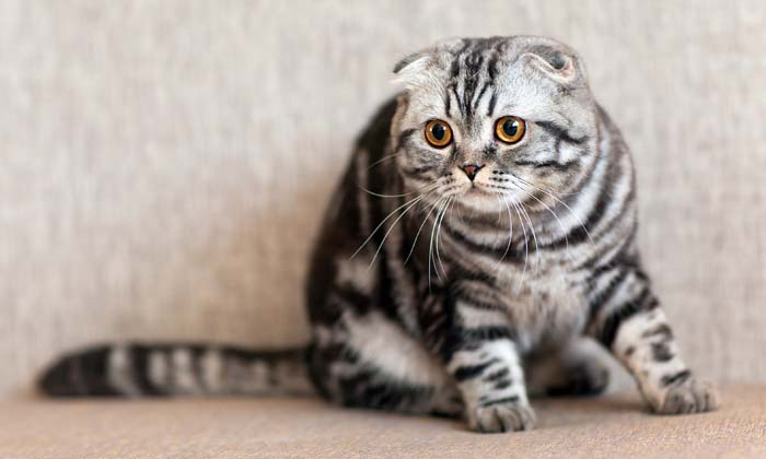 British Breeds of Cat 2