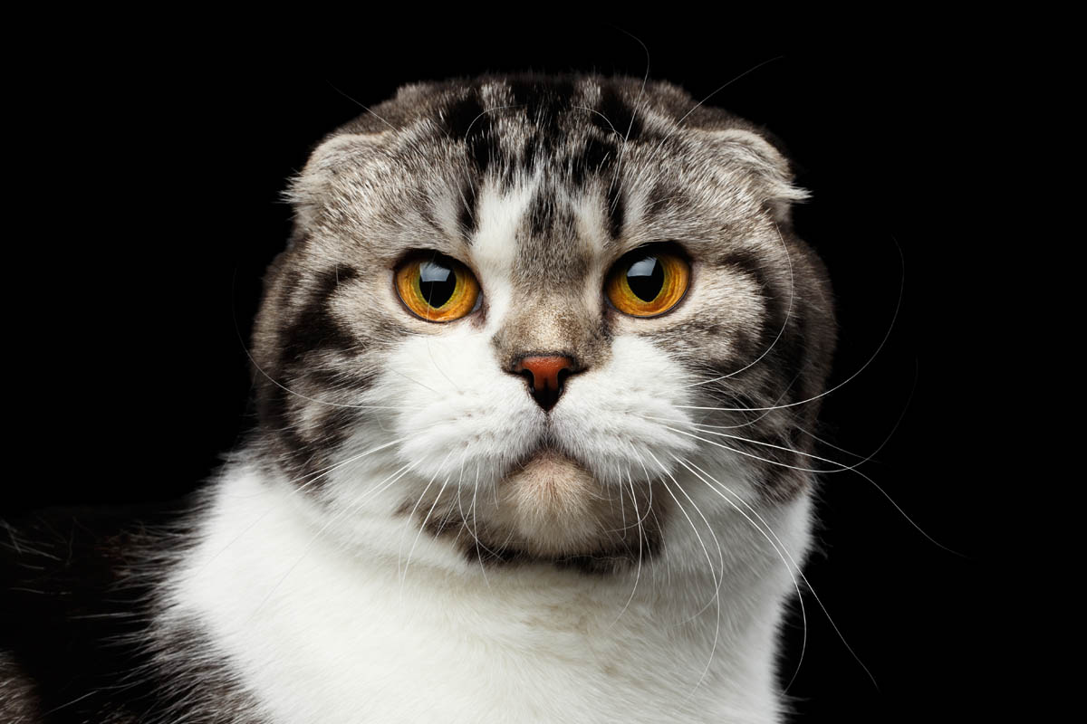 Tabby and white Scottish Fold