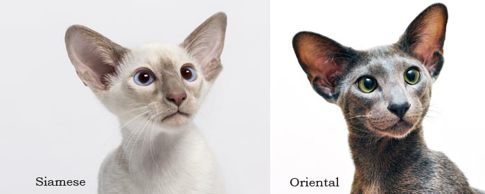 What's the difference between a Siamese and an Oriental cat?
