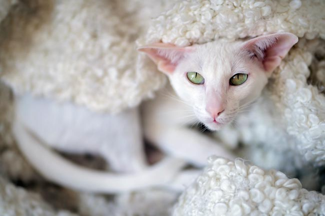 White oriental shorthair or foreign white
