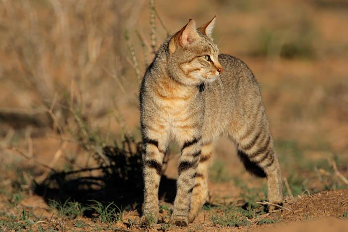 African wildcat (Felis silvestris lybica)