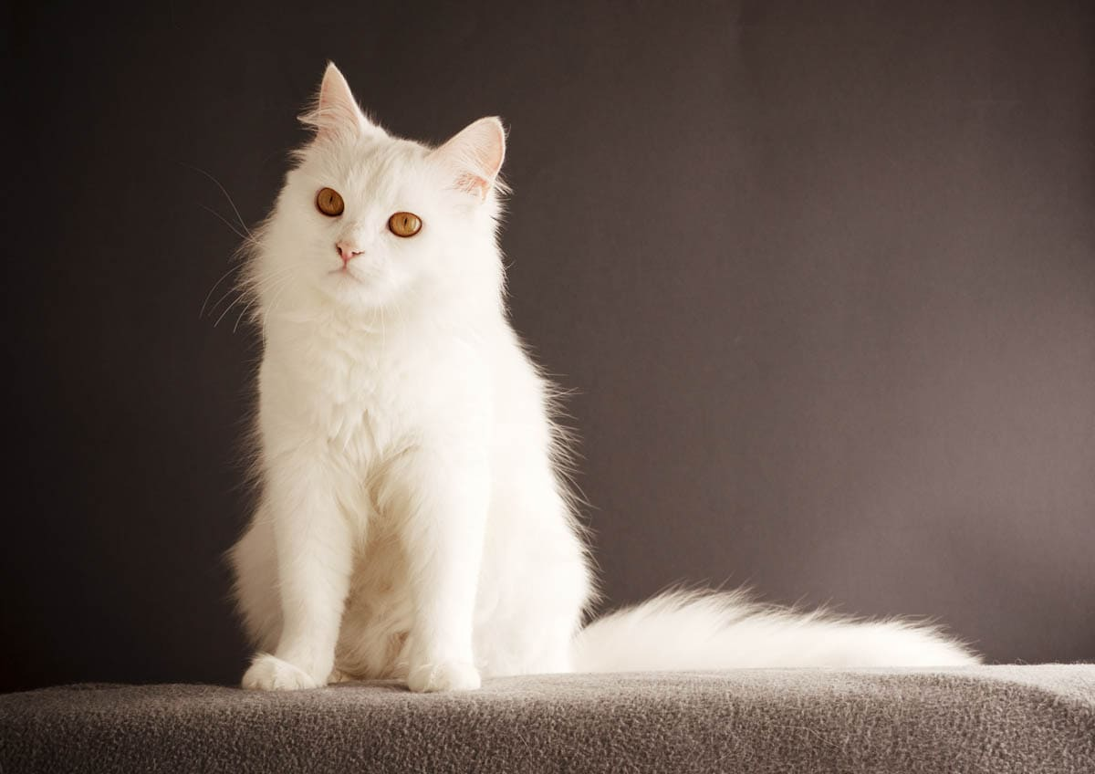 All about white cats
