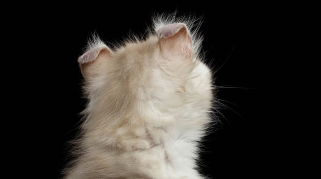 American Curl ears from behind