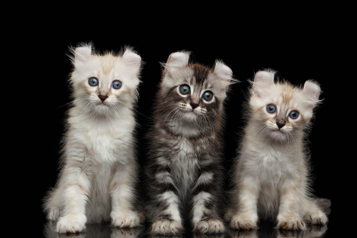 Three American Curl kittens