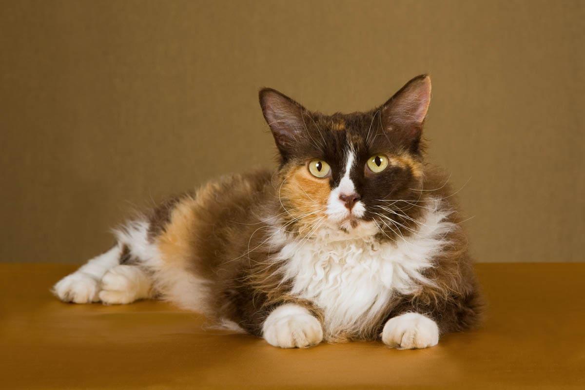 Calico LaPerm cat
