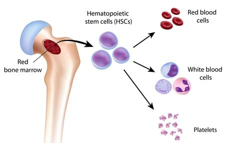 Production of blood cells in the bone marrow