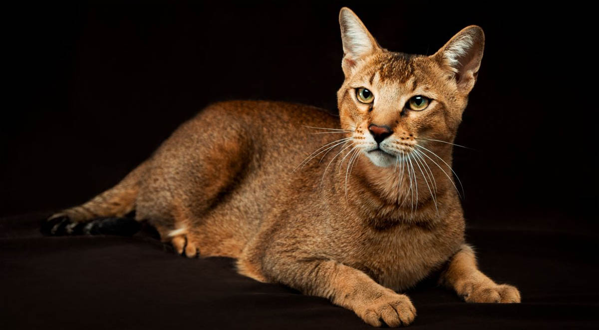 Chausie cat breed profile