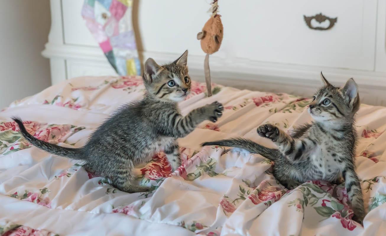 Get a kitten a companion