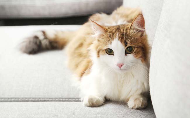 Cruciate ligament rupture in cats