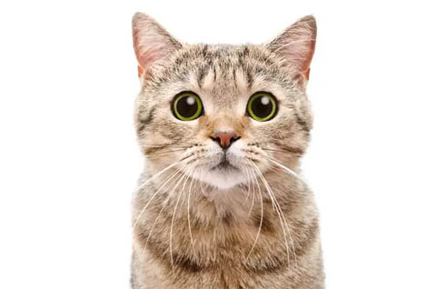 Causes Of Dilated Pupils In Cats Cat World