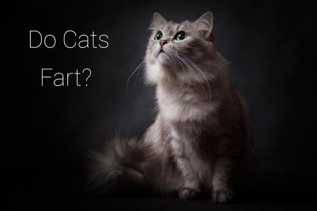 Do cats fart? Flatulence in cats