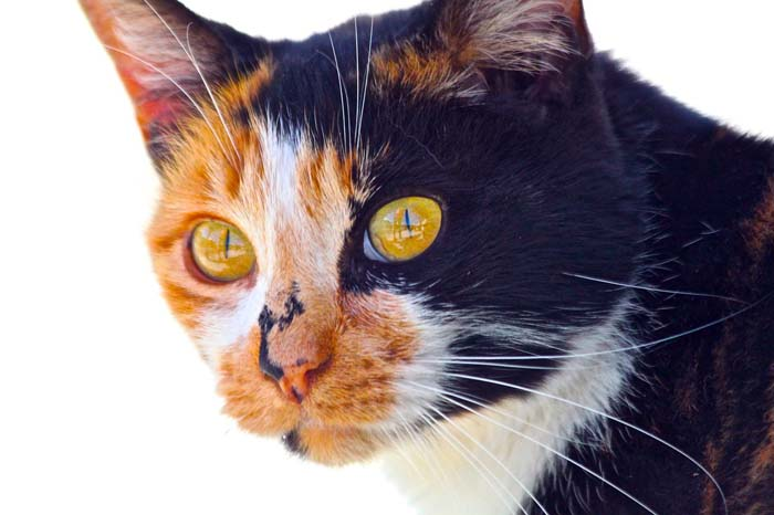Calico domestic shorthair cat