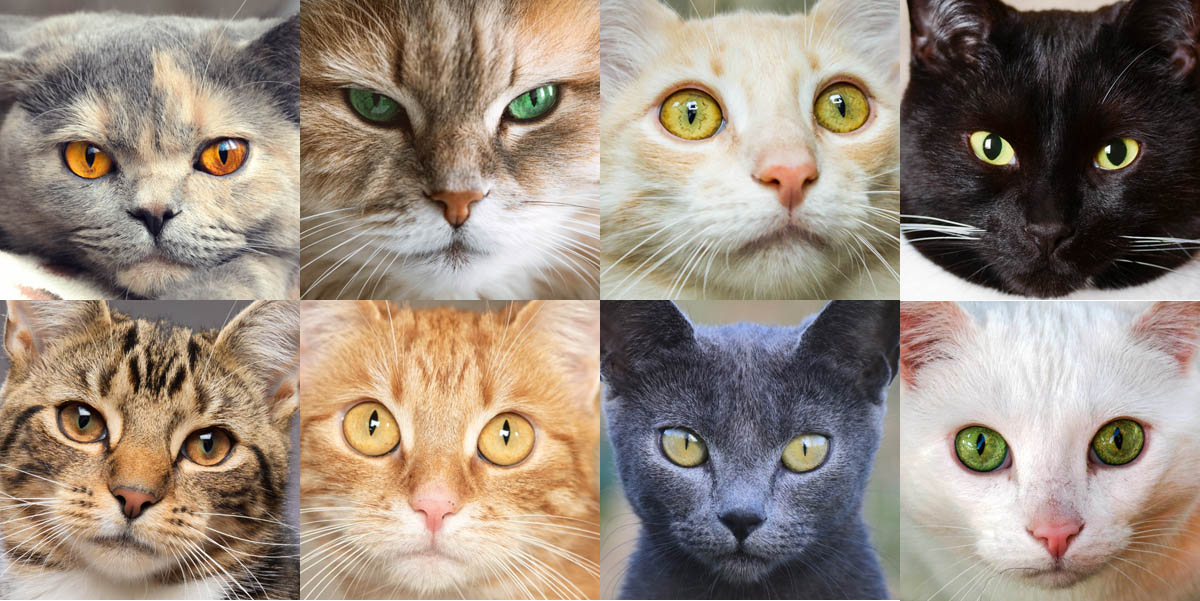 Domestic shorthair cat colours