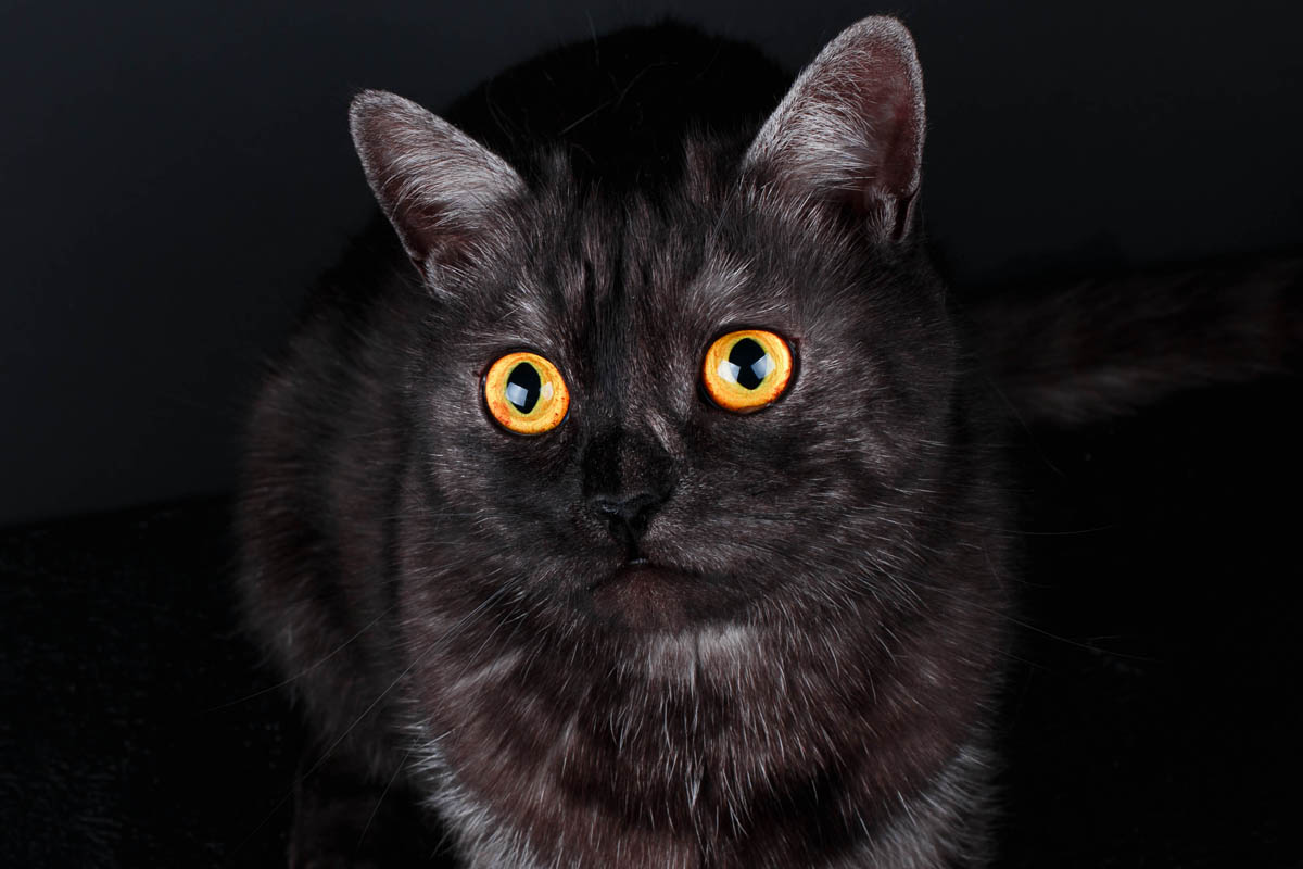 Black smoke domestic shorthair