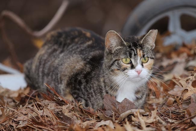 Ear tipping of feral cats