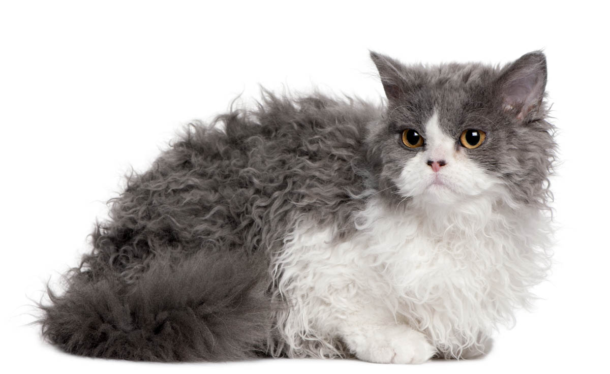 Blue and white Selkirk Rex