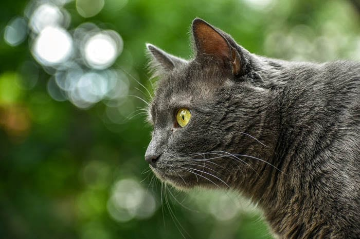 Grey domestic shorthair cat