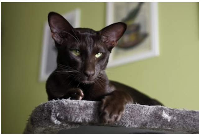 Havana cat