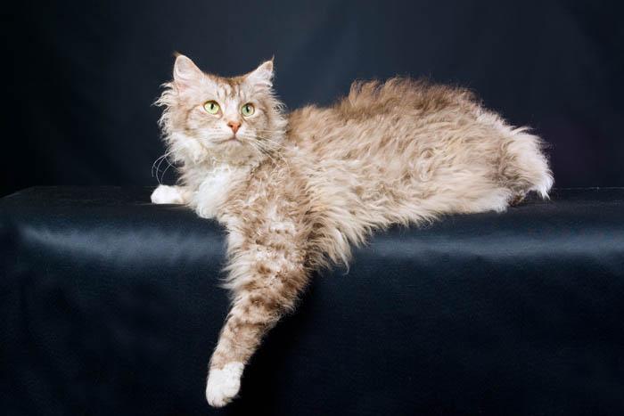 LaPerm Cat Breed Profile