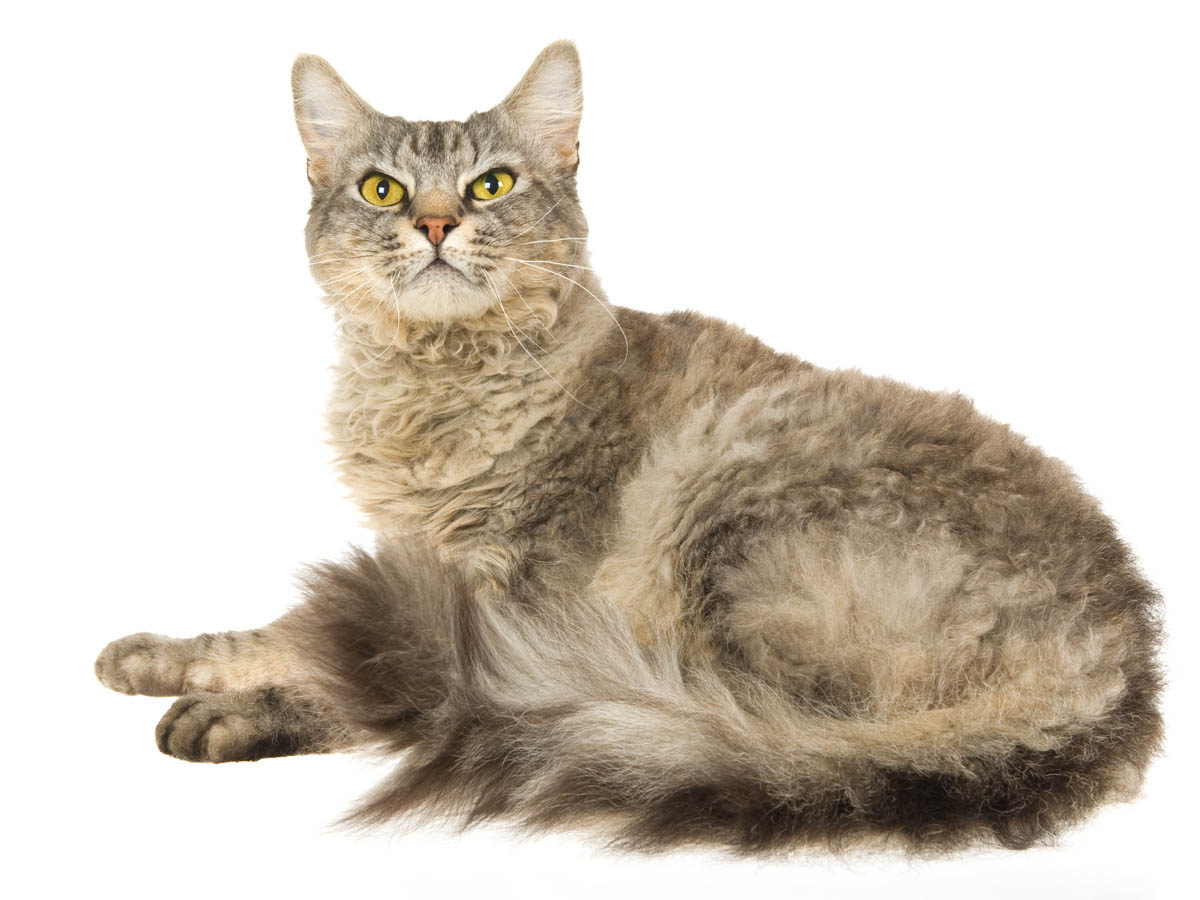 Shaded silver LaPerm cat