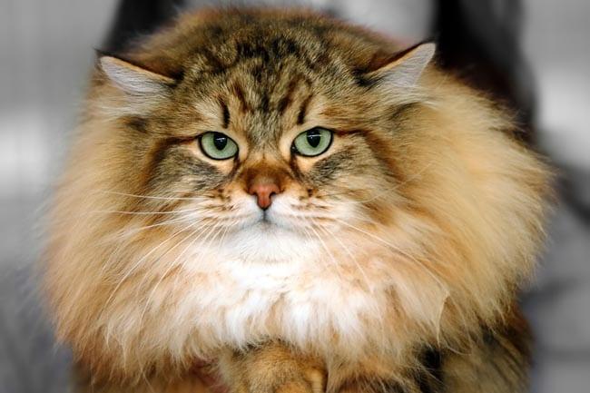 Malassezia in cats