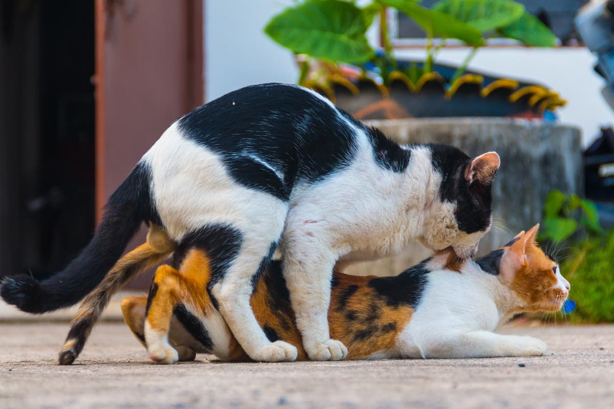 Mating in cats