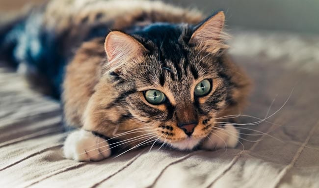 Myelodysplasia in cats