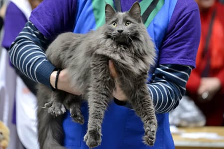 Nebelung cat at a show