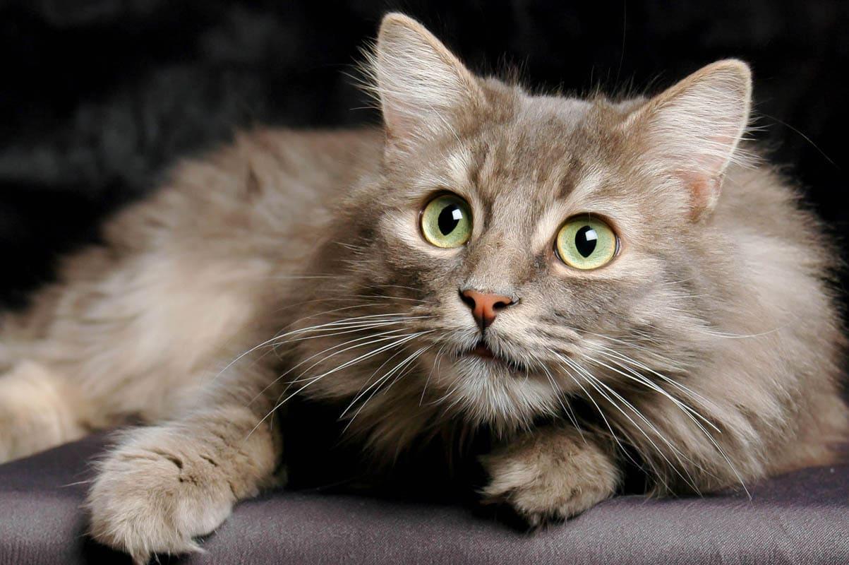 Pneumonia in cats