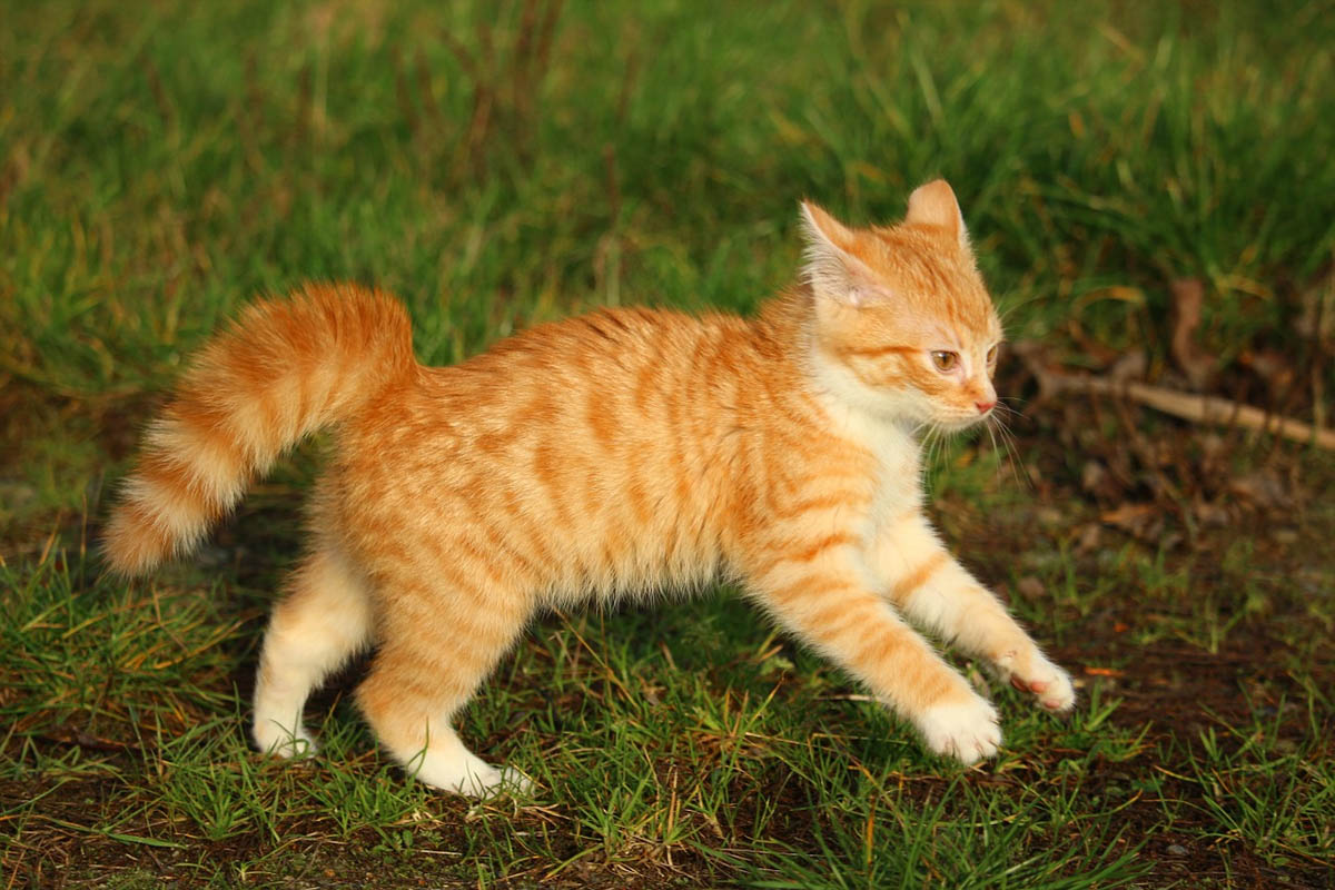 Puffy cat tail