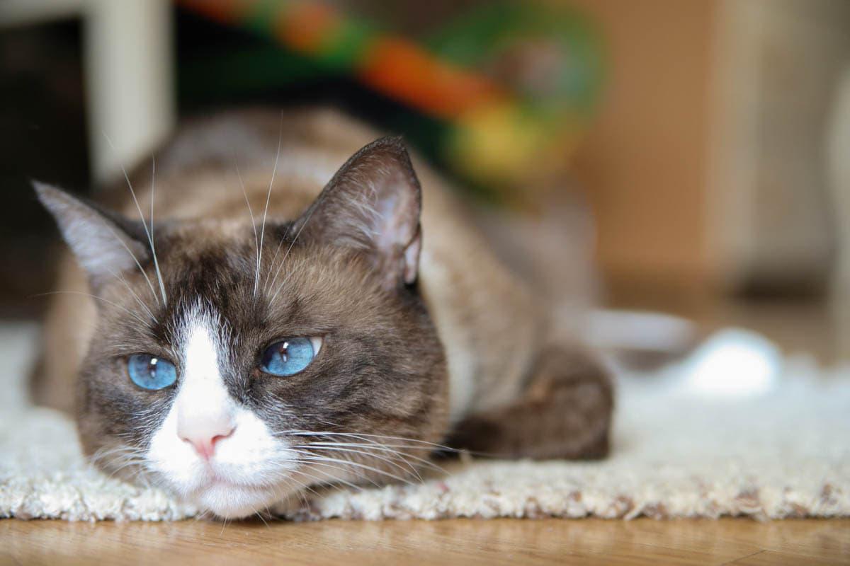Snowshoe cat breed profile