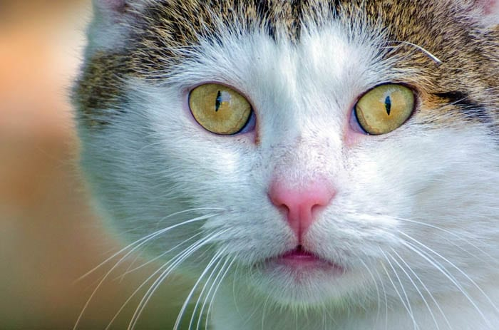 Tabby and white domestic shorthair cat