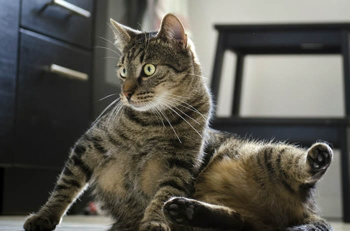 Tabby domestic shorthair cat