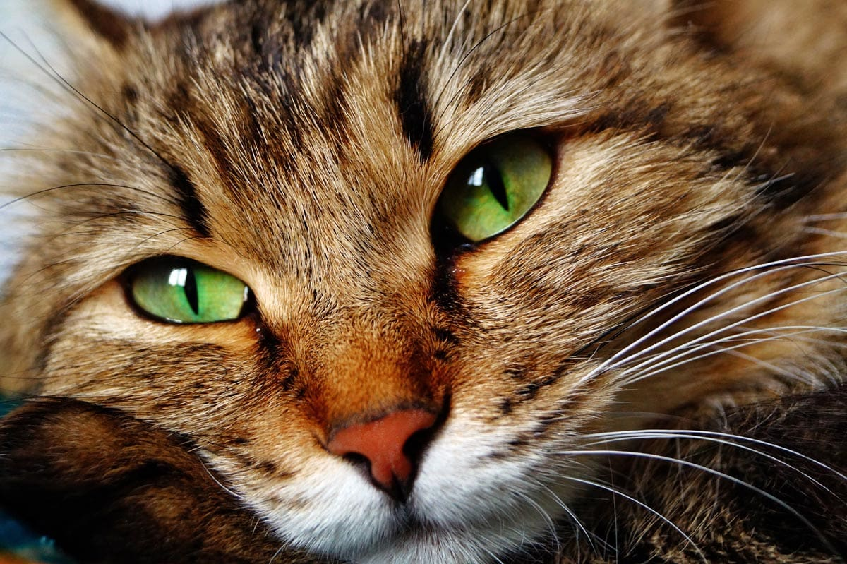 Close up of a brown tabby moggy