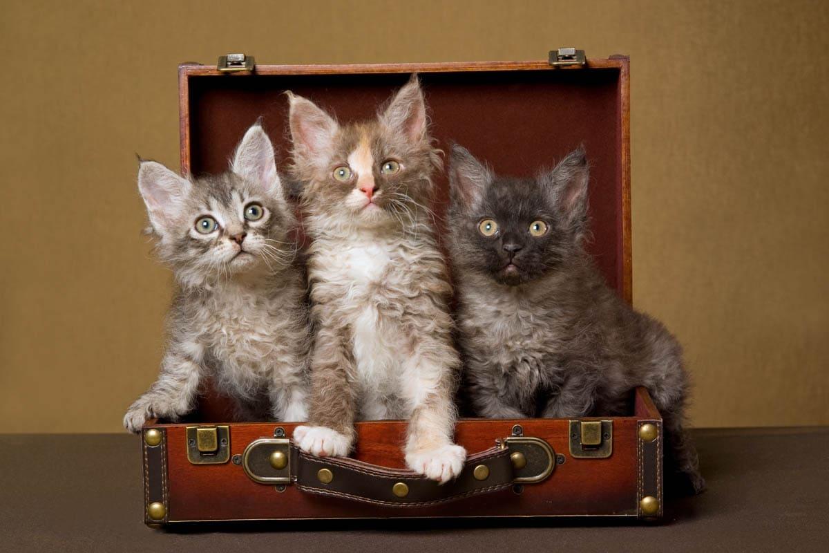 Three LaPerm kittens