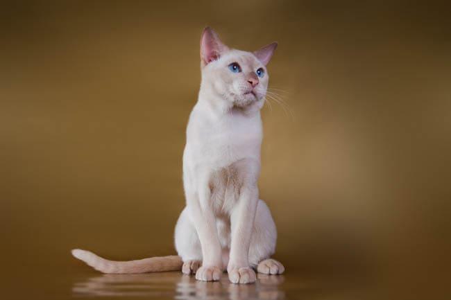 Tonkinese cat