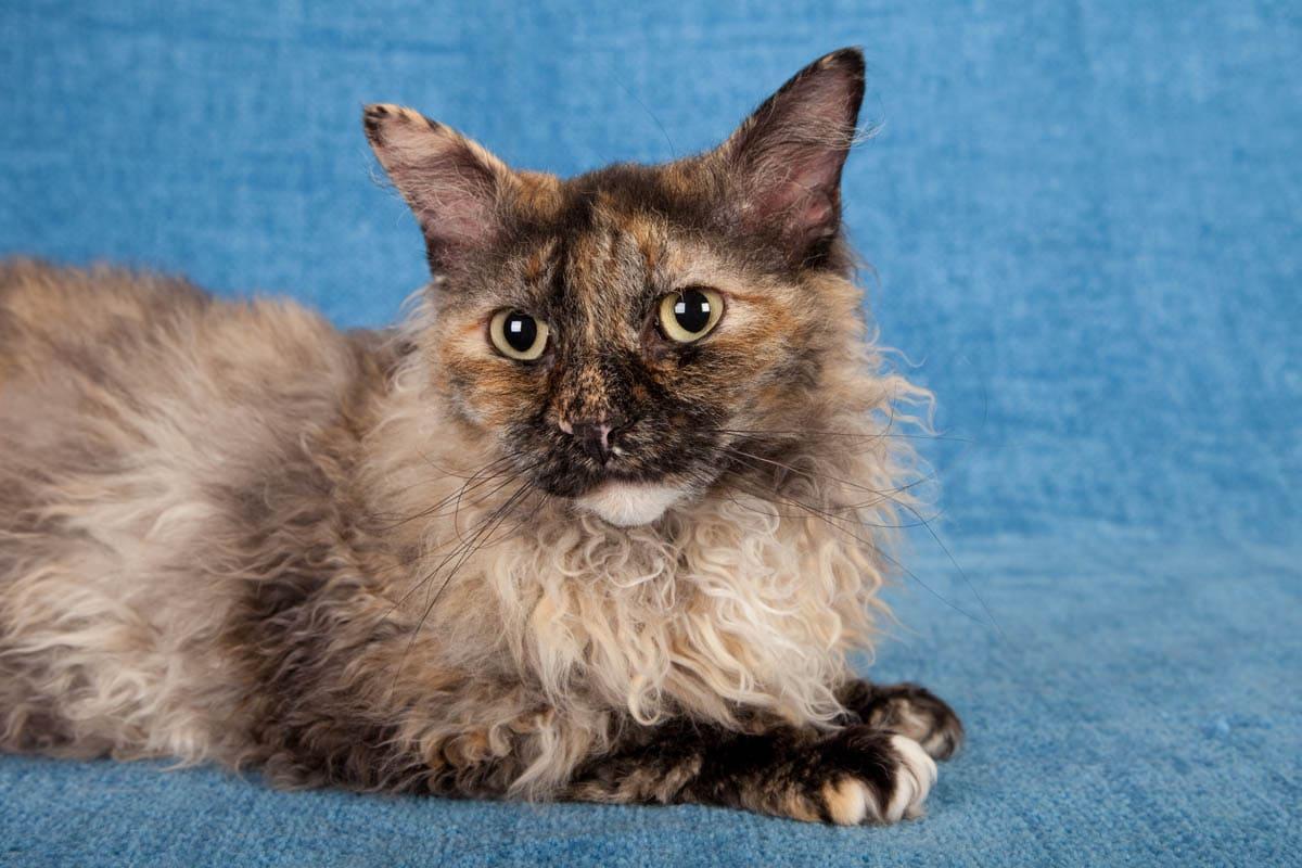 Tortie LaPerm cat