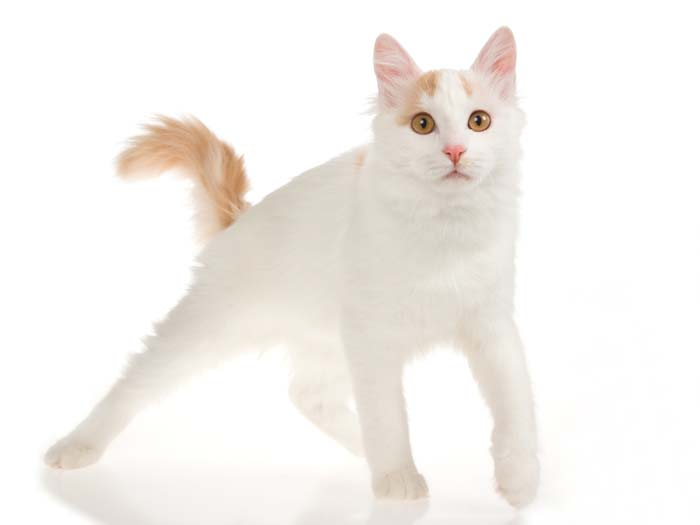 Red and white Turkish Van