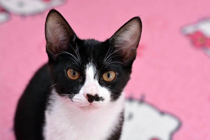 Tuxedo domestic shorthair cat