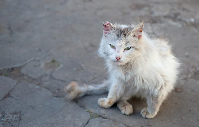 What is a feral cat?