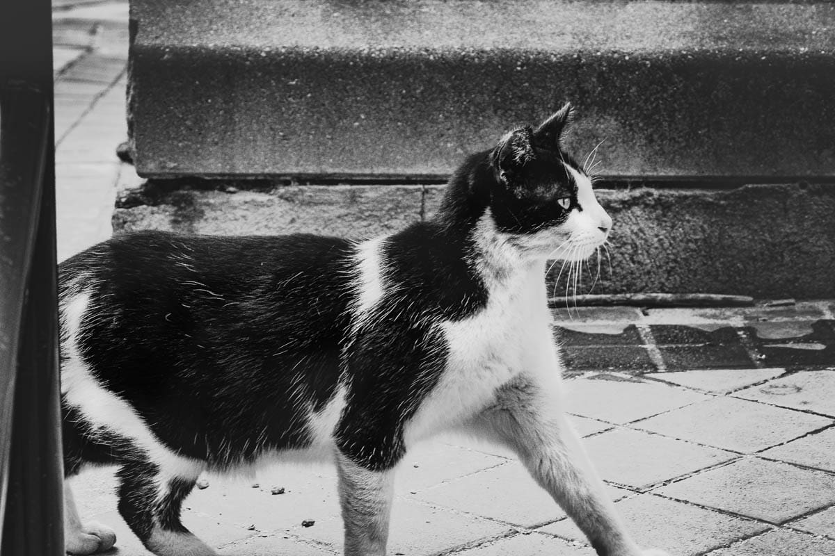 What is a stray cat?