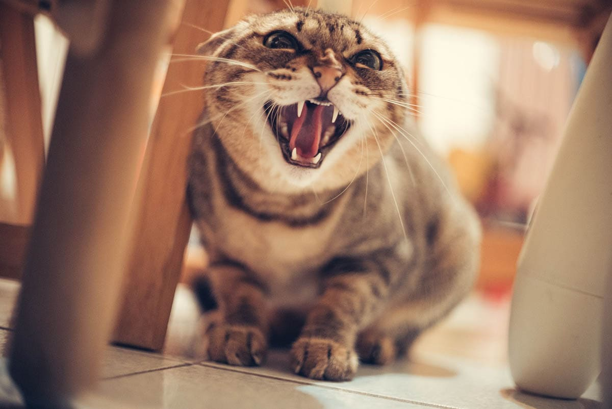 Why do cats hiss?