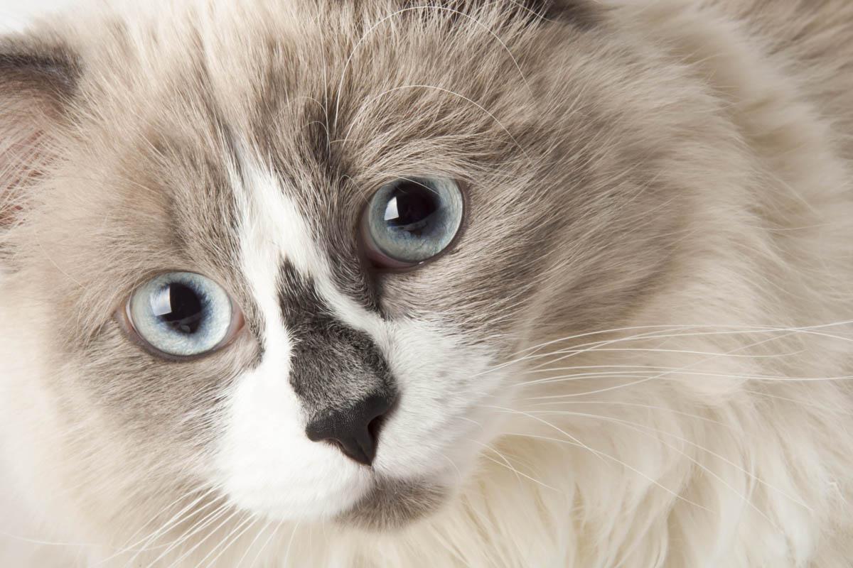 Ascites in cats